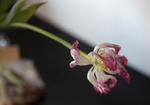 Het verval van een tulp