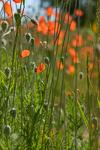 Een veld vol klaprozen