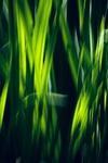 Wuivend gras.jpg