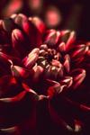Dahlia abstract-1.jpg