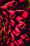 Dahlia abstract-2.jpg
