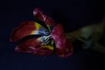 verwelkte tulp
